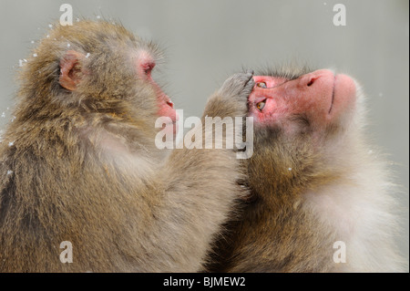 Japanese macaques (Macaca fuscata) in winter - Stock Photo