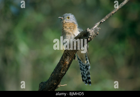 Fan-tailed cuckoo (Cacomantis flabelliformis), perched on branch, Australia - Stock Photo