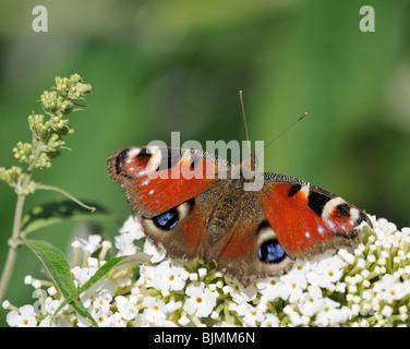 European Peacock (Inachis io) on Buddleja davidii, summer lilac, butterfly-bush or orange eye (Buddleja davidii), - Stock Photo