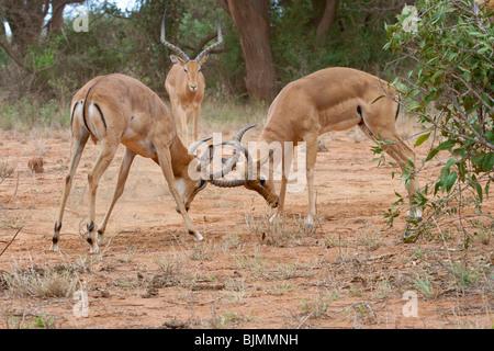 Fighting impala males (Aepyceros melampus) in Tsavo national park (Kenya) - Stock Photo