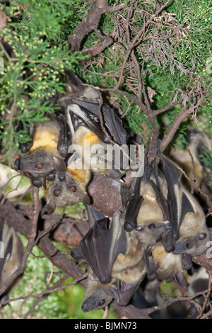 A colony of the African straw-colored fruit bats (Eidolon helvum) in a tree. - Stock Photo