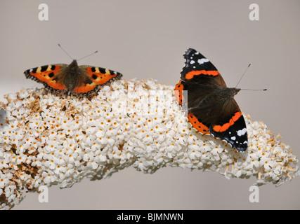 Small Tortoiseshell (Nymphalis urticae) and Red Admiral or Vanessa atalanta (Vanessa atalanta) on Buddleja davidii, - Stock Photo