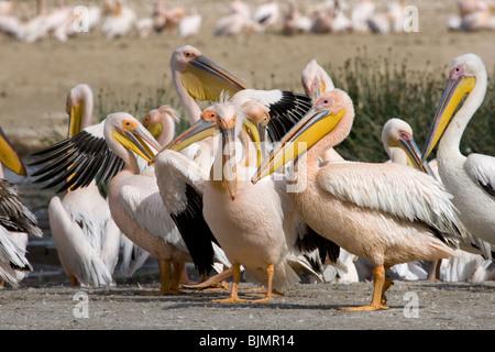 Great White Pelicans (Pelecanus onocrotalus ) at lake Nakuru (Kenya). - Stock Photo