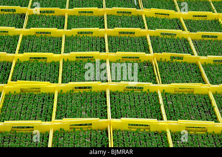 Seedlings in seed boxes in a greenhouse, nursery - Stock Photo