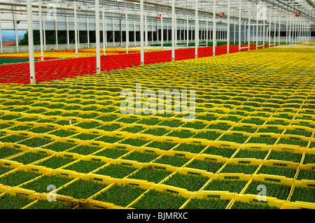 Seedlings in seed boxes in a greenhouse, nursery, Seeland region, Switzerland, Europe - Stock Photo