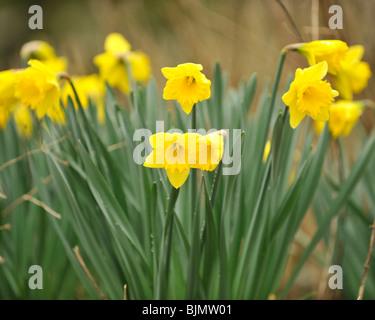 daffodils - Stock Photo