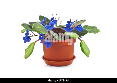 violet in pot isolated on white - Stock Photo