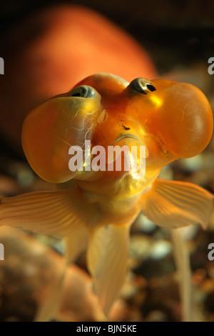 Bubble Eye Goldfish in Aquarium. - Stock Photo