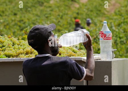 Man quenching his thirst drinking cold water from a plastic bottle. South African vineyard casual worker - Stock Photo