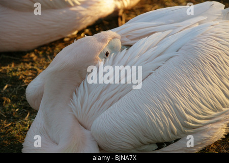 Great White Pelican, Pelecanus onocrotalus, Pelecanidae - Stock Photo