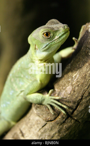 Plumed or Green Basilisk, Basiliscus plumifrons, Corytophanidae, Central America. - Stock Photo