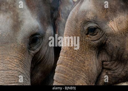 Two Indian elephants closeup - Stock Photo