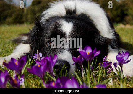 border collie in crocuses - Stock Photo