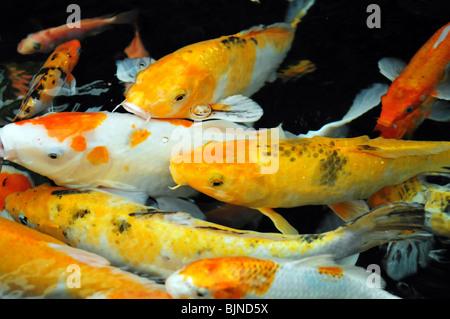 Asian carp (Koi Fish) swim in water pond - Stock Photo