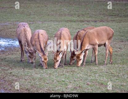 Group of grazing Red Deer (cervus elaphus), UK - Stock Photo