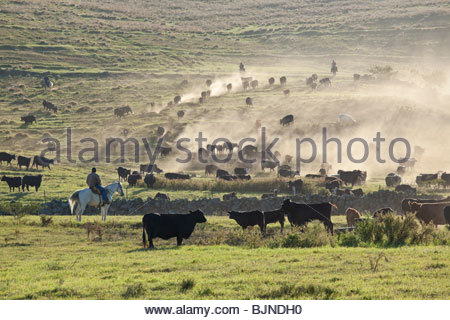 Roundup of cattle on ranch on the island of Maui in the State of Hawaii USA - Stock Photo