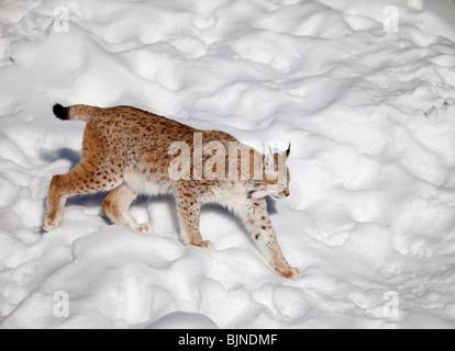 European ( Eurasian ) lynx ( Lynx Lynx )  walking on snow at Winter , Finland - Stock Photo