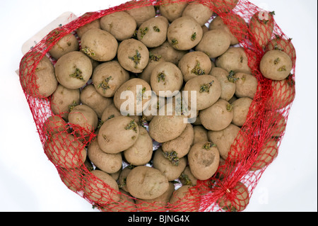sprouting seed potato maris piper in a red net - Stock Photo