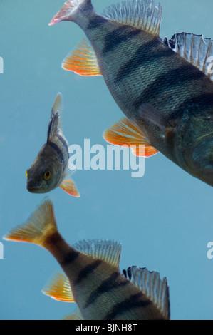 European perch (Perca fluviatilis) - Stock Photo