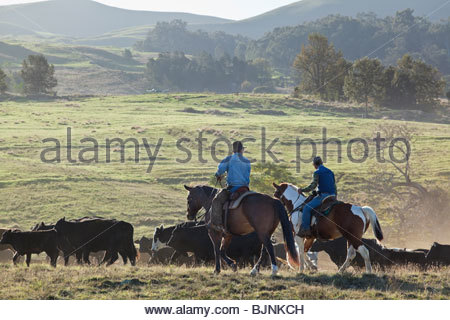 Cowboy during roundup of cattle on ranch on the island of Maui in the State of Hawaii USA - Stock Photo