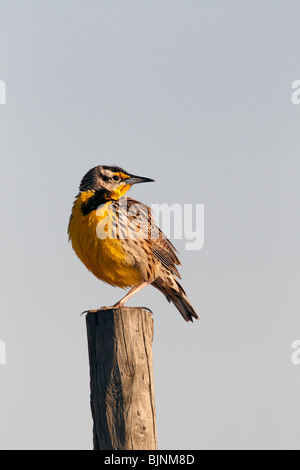 Western Meadowlark (Sturnella, neglecta) at Sunrise - Stock Photo