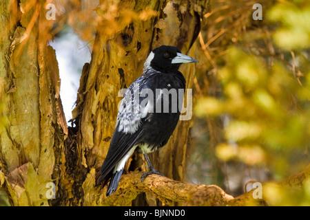 Australian Magpie, Cracticus tibicen - Stock Photo