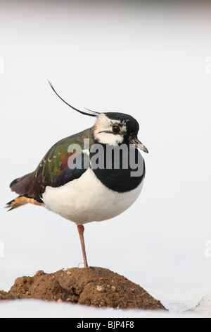 Portrait of an Northern Lapwing (Vanellus vanellus) - Stock Photo