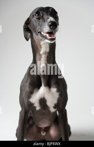 Whippet - Stock Photo