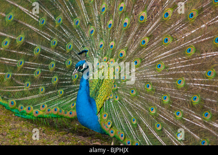 Indian Peacock with tail feathers up. - Stock Photo
