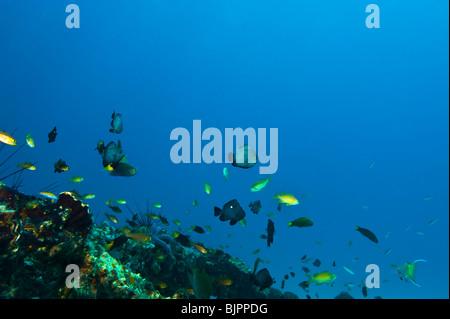 reef Malapascua manifold versatile multiplex life on reef fish starfish sea urchin under water  Cebu Philippines - Stock Photo