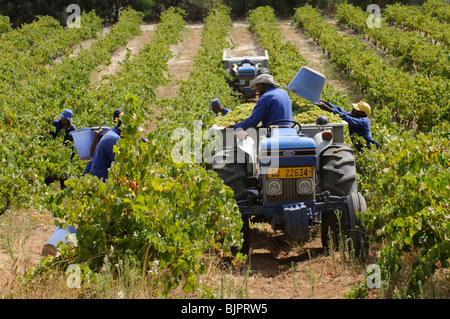 Harvesting picking grapes by hand in a vineyard close to Paarl in the western Cape South Africa - Stock Photo
