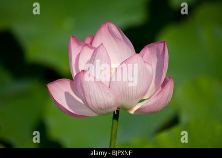Lotus Flower, Montreal Botanical Garden