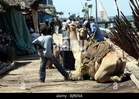 Camels resting in a narrow street In Lamu - Stock Photo
