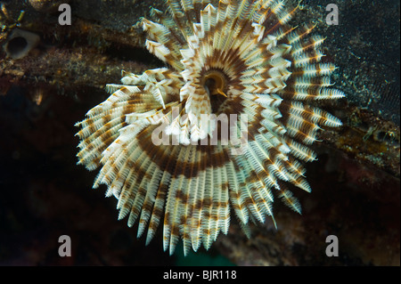 Feather star featherstar Comanthus sp sea fan crinoid reef malapascua  under water sea MALAPASCUA ISLANDS underwater - Stock Photo