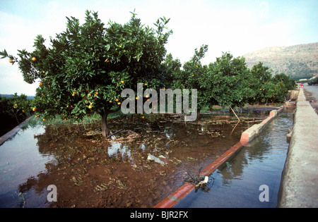 Flood irrigation of an clementine orchard from overflowing water canals, Valencia - Stock Photo