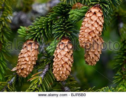 Sitka Spruce (Picea sitchensis) cones along edge of Prince william Sound near Cordova, Alaska in June. - Stock Photo