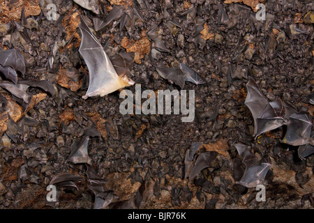 A colony of the Egyptian fruit bats (Rousettus aegyptiacus) in cave. - Stock Photo