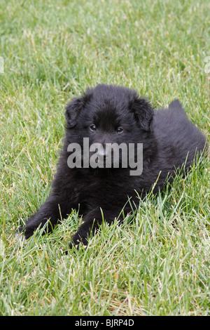 Belgian Shepherd Dog, Sheepdog Puppy - Stock Photo