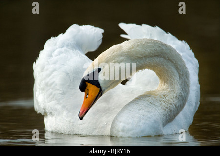 wild swan portrait with a 600 mm tele telelense lense white animal bird water  gliding glide swimm swimming grandious - Stock Photo