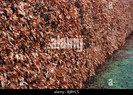 Beech hedge in late winter - Stock Photo