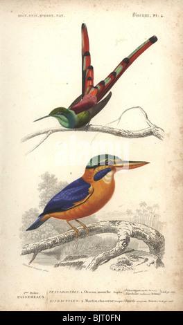 Red-tailed comet (hummingbird) and Rufous-collared kingfisher  Ornismya sapho, Dacelo concreta, Sappho sparganura - Stock Photo