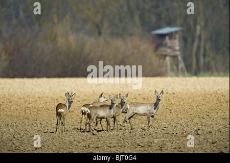 roe deer in field soil group herd spring wild wildlife roe deer in field soil group herd spring wild wildlife hunt - Stock Photo