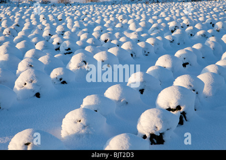 Snow covered brussel sprout plants growing on a hillside overlooking the Cotswold town of Chipping Campden, Gloucestershire - Stock Photo