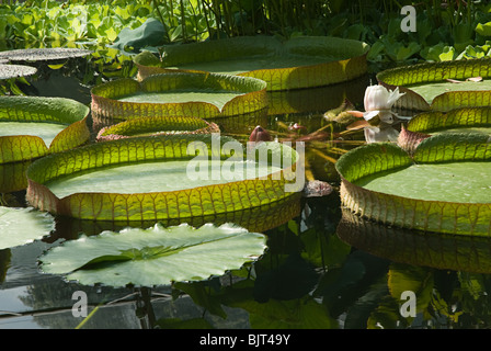Giant water lilies on a pond - Stock Photo