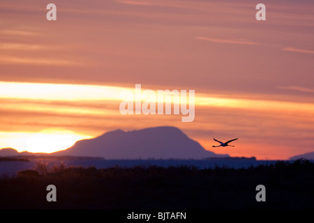 Greater Flamingo (Phoenicopterus roseus) flying at dawn, Regional Park of Camargue, South of France - Stock Photo