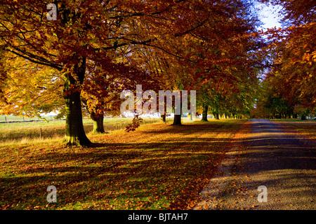 Autumn trees beech Chequers Buckinghamshire - Stock Photo