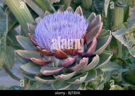 Artichoke 'Globe' variety going to seed. - Stock Photo