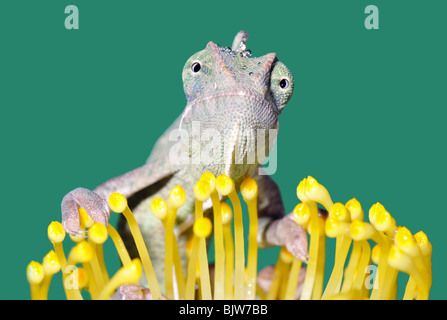 portrait of a young yemen/veiled chameleon(chameleo calyptratus) on a flower. - Stock Photo