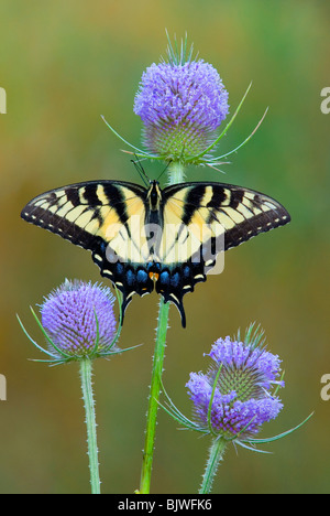 Eastern Tiger Swallowtail Butterfly Papilio glaucus on Teasel Eastern USA, by Skip Moody/Dembinsky Photo Assoc - Stock Photo
