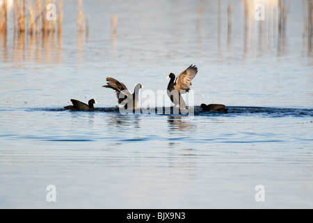 Coots fighting during the mating season. (Fulica Atra) - Stock Photo
